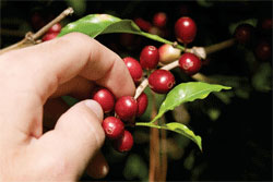 Ripe Coffee Beans, our coffee, giving bean coffee, about our coffee, about us